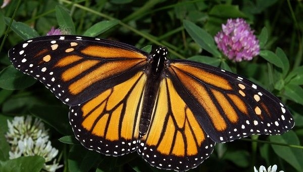On the American continent, we have the sad declining numbers of the beautiful monarch butterfly (Danaus plexippus).